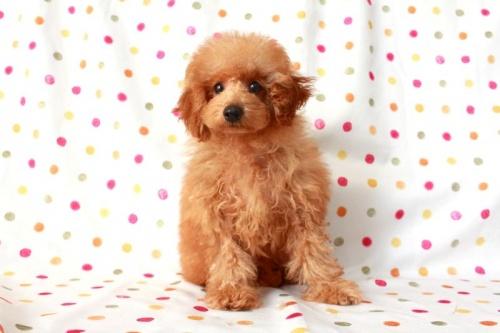 トイプードルの子犬(ID:1236011145)の2枚目の写真/更新日:2017-03-01