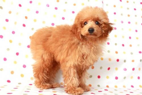 トイプードルの子犬(ID:1236011145)の3枚目の写真/更新日:2017-03-01