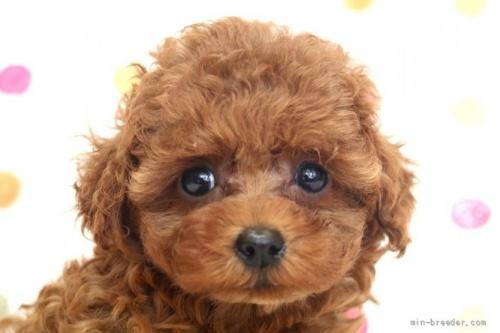 トイプードルの子犬(ID:1236011146)の1枚目の写真/更新日:2021-10-11