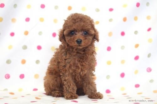 トイプードルの子犬(ID:1236011146)の2枚目の写真/更新日:2018-06-01