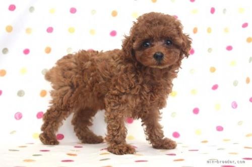 トイプードルの子犬(ID:1236011146)の3枚目の写真/更新日:2018-06-01