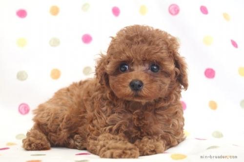 トイプードルの子犬(ID:1236011146)の4枚目の写真/更新日:2021-10-11