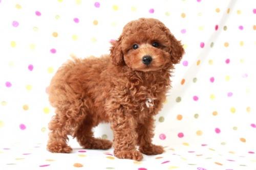 トイプードルの子犬(ID:1236011147)の1枚目の写真/更新日:2017-03-08