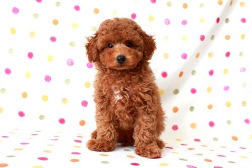 トイプードルの子犬(ID:1236011147)の2枚目の写真/更新日:2017-03-08