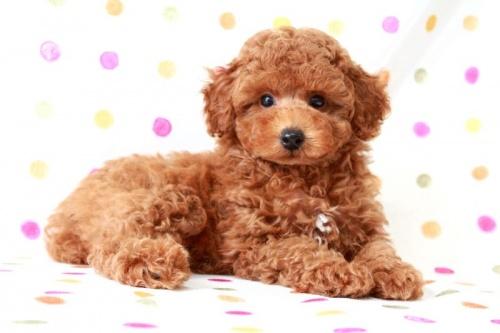 トイプードルの子犬(ID:1236011147)の3枚目の写真/更新日:2017-03-08