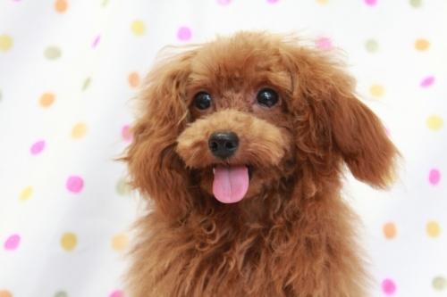 トイプードルの子犬(ID:1236011148)の1枚目の写真/更新日:2018-06-01