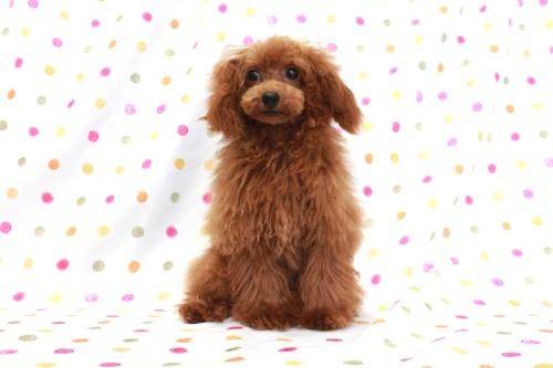 トイプードルの子犬(ID:1236011148)の2枚目の写真/更新日:2017-03-08