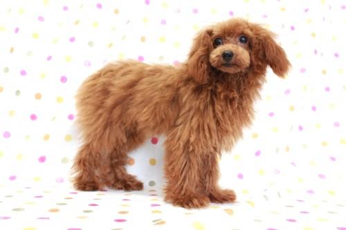 トイプードルの子犬(ID:1236011148)の3枚目の写真/更新日:2018-06-01