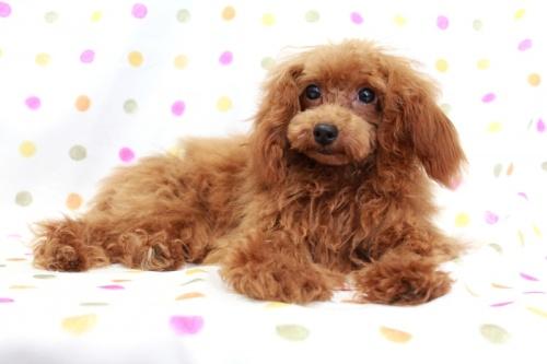 トイプードルの子犬(ID:1236011148)の4枚目の写真/更新日:2018-06-01