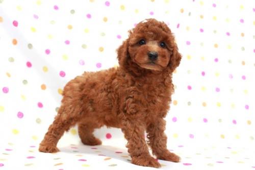 トイプードルの子犬(ID:1236011149)の1枚目の写真/更新日:2017-03-27