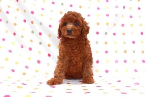 トイプードルの子犬(ID:1236011149)の2枚目の写真/更新日:2017-03-27
