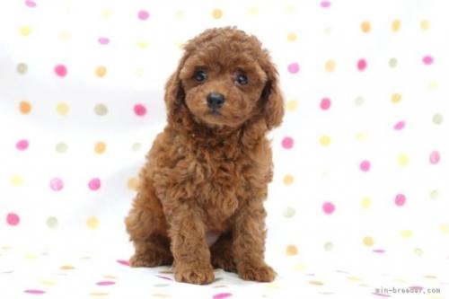 トイプードルの子犬(ID:1236011150)の2枚目の写真/更新日:2017-03-27