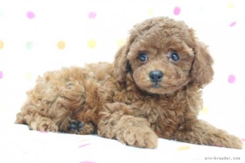 トイプードルの子犬(ID:1236011150)の4枚目の写真/更新日:2018-06-01