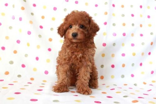 トイプードルの子犬(ID:1236011151)の1枚目の写真/更新日:2017-03-27