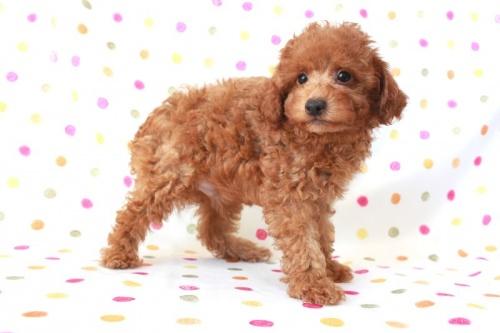 トイプードルの子犬(ID:1236011151)の3枚目の写真/更新日:2017-03-27