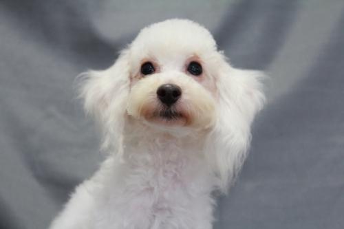トイプードルの子犬(ID:1236011152)の1枚目の写真/更新日:2018-07-13