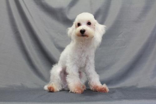 トイプードルの子犬(ID:1236011152)の2枚目の写真/更新日:2018-07-13