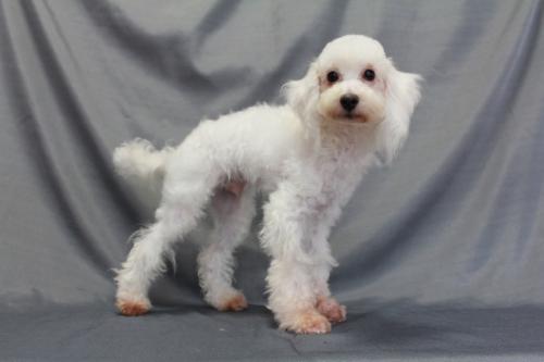 トイプードルの子犬(ID:1236011152)の3枚目の写真/更新日:2018-07-13
