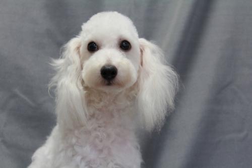トイプードルの子犬(ID:1236011153)の1枚目の写真/更新日:2018-07-13