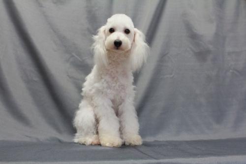 トイプードルの子犬(ID:1236011153)の2枚目の写真/更新日:2018-07-13
