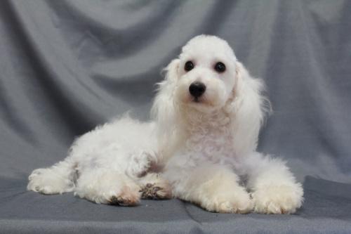 トイプードルの子犬(ID:1236011153)の3枚目の写真/更新日:2018-07-13