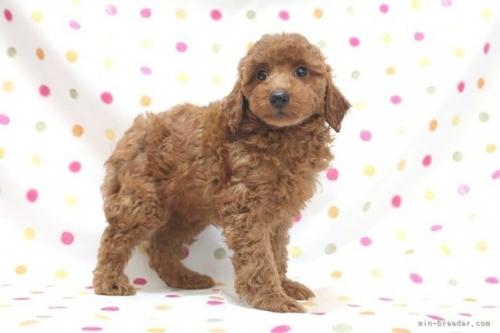 トイプードルの子犬(ID:1236011154)の3枚目の写真/更新日:2018-08-17