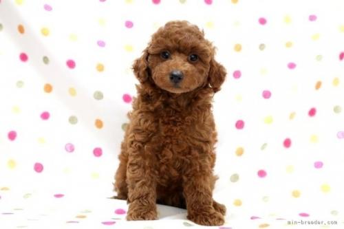 トイプードルの子犬(ID:1236011155)の2枚目の写真/更新日:2018-07-14