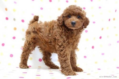 トイプードルの子犬(ID:1236011155)の3枚目の写真/更新日:2018-06-22