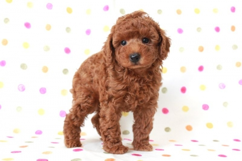 トイプードルの子犬(ID:1236011156)の1枚目の写真/更新日:2017-06-17