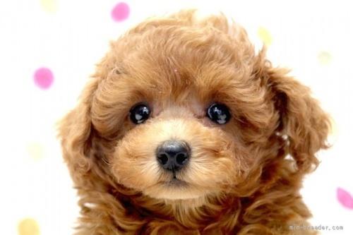 トイプードルの子犬(ID:1236011157)の1枚目の写真/更新日:2017-06-17