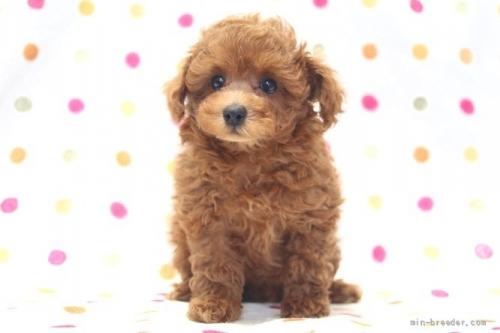 トイプードルの子犬(ID:1236011157)の2枚目の写真/更新日:2018-07-13