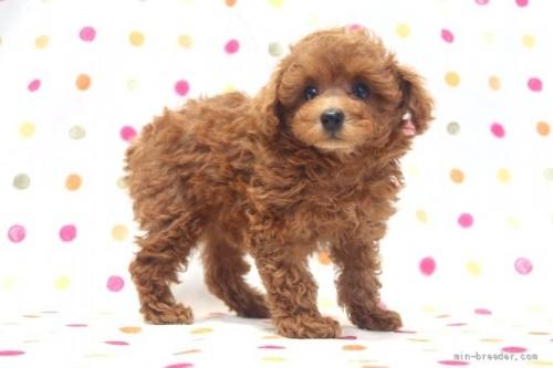 トイプードルの子犬(ID:1236011157)の3枚目の写真/更新日:2017-06-17