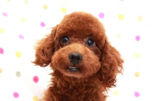 トイプードルの子犬(ID:1236011158)の1枚目の写真/更新日:2017-06-21