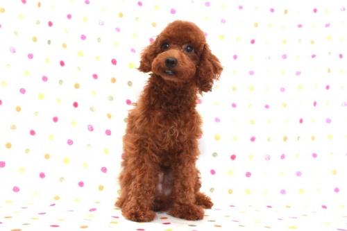 トイプードルの子犬(ID:1236011158)の2枚目の写真/更新日:2017-06-21