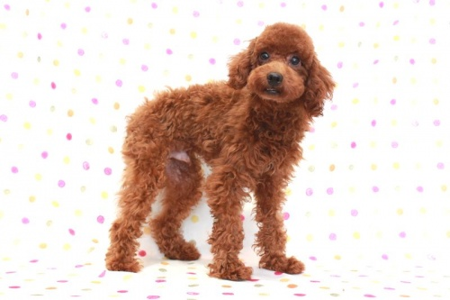 トイプードルの子犬(ID:1236011158)の3枚目の写真/更新日:2017-06-21