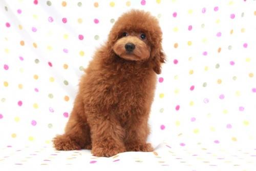 トイプードルの子犬(ID:1236011159)の1枚目の写真/更新日:2017-06-21