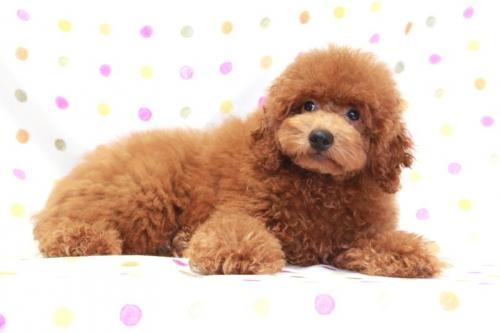 トイプードルの子犬(ID:1236011159)の2枚目の写真/更新日:2017-06-21