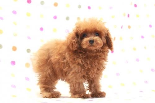 トイプードルの子犬(ID:1236011161)の1枚目の写真/更新日:2017-08-11