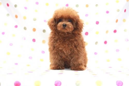 トイプードルの子犬(ID:1236011161)の2枚目の写真/更新日:2017-08-11
