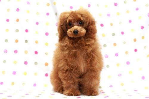 トイプードルの子犬(ID:1236011164)の2枚目の写真/更新日:2017-09-18