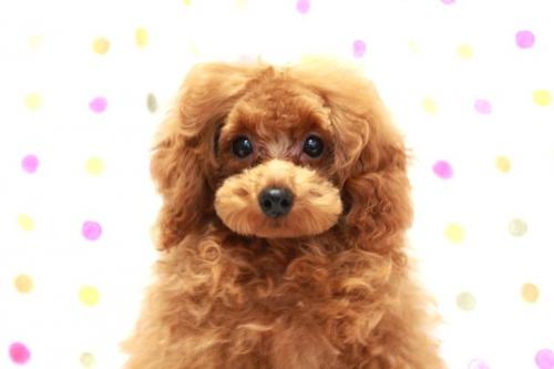 トイプードルの子犬(ID:1236011164)の4枚目の写真/更新日:2017-09-18