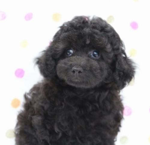 トイプードルの子犬(ID:1236011166)の3枚目の写真/更新日:2017-09-18
