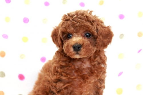 トイプードルの子犬(ID:1236011167)の1枚目の写真/更新日:2017-09-18