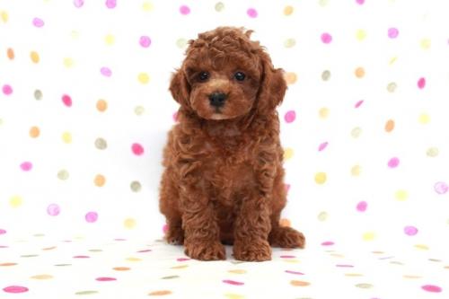 トイプードルの子犬(ID:1236011167)の2枚目の写真/更新日:2017-09-18
