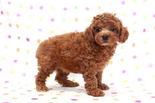 トイプードルの子犬(ID:1236011167)の3枚目の写真/更新日:2017-09-18