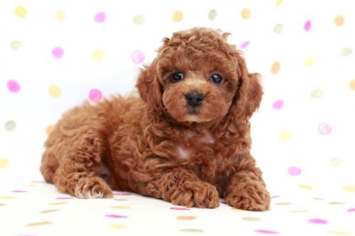 トイプードルの子犬(ID:1236011167)の4枚目の写真/更新日:2017-09-18