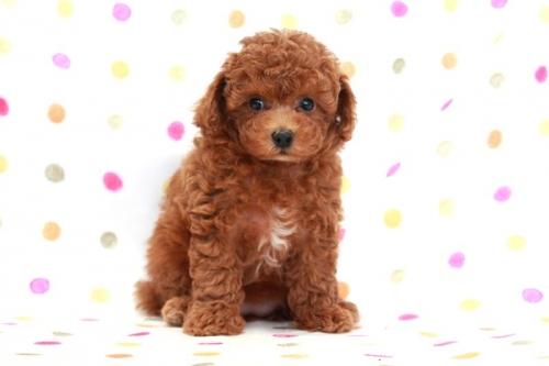 トイプードルの子犬(ID:1236011168)の1枚目の写真/更新日:2017-09-18