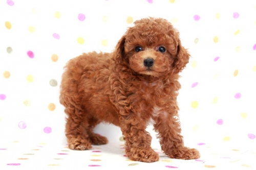 トイプードルの子犬(ID:1236011168)の2枚目の写真/更新日:2017-09-18