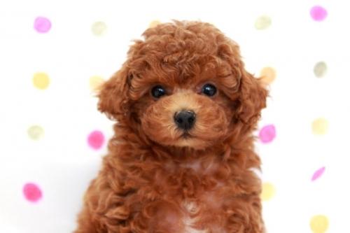 トイプードルの子犬(ID:1236011168)の4枚目の写真/更新日:2017-09-18