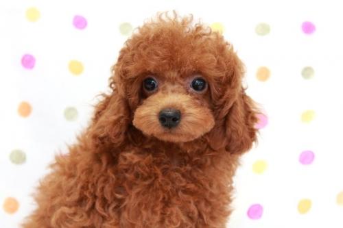 トイプードルの子犬(ID:1236011169)の1枚目の写真/更新日:2017-09-18